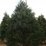 Christmas Tree rev