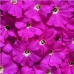 Petunia EZ Gro Freedom Pink
