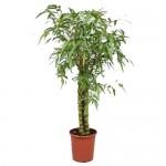 Bamboo rev