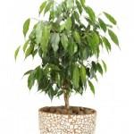 Ficus-benjamina-Weeping-Fig-Ficus-Black2
